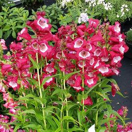 Цветок пенстемон для сада (с фото)