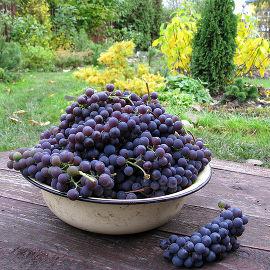 Виноград – описание, виды, сорта, уход, где растет, фото