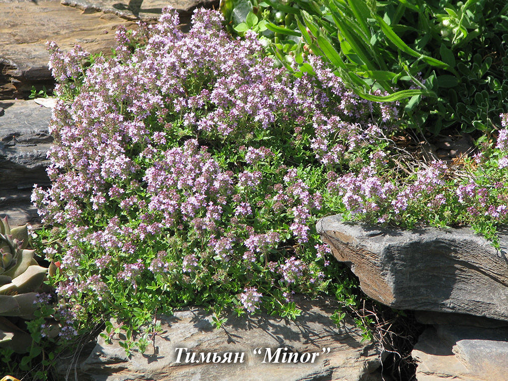 Thymus_Minor