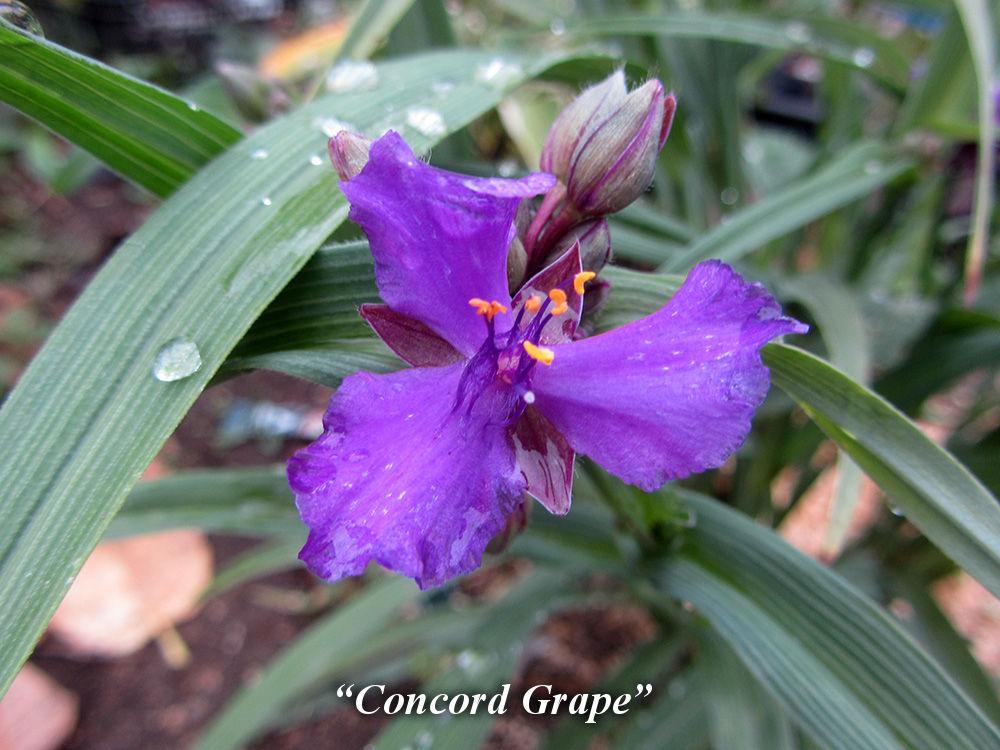 Concord_Grape