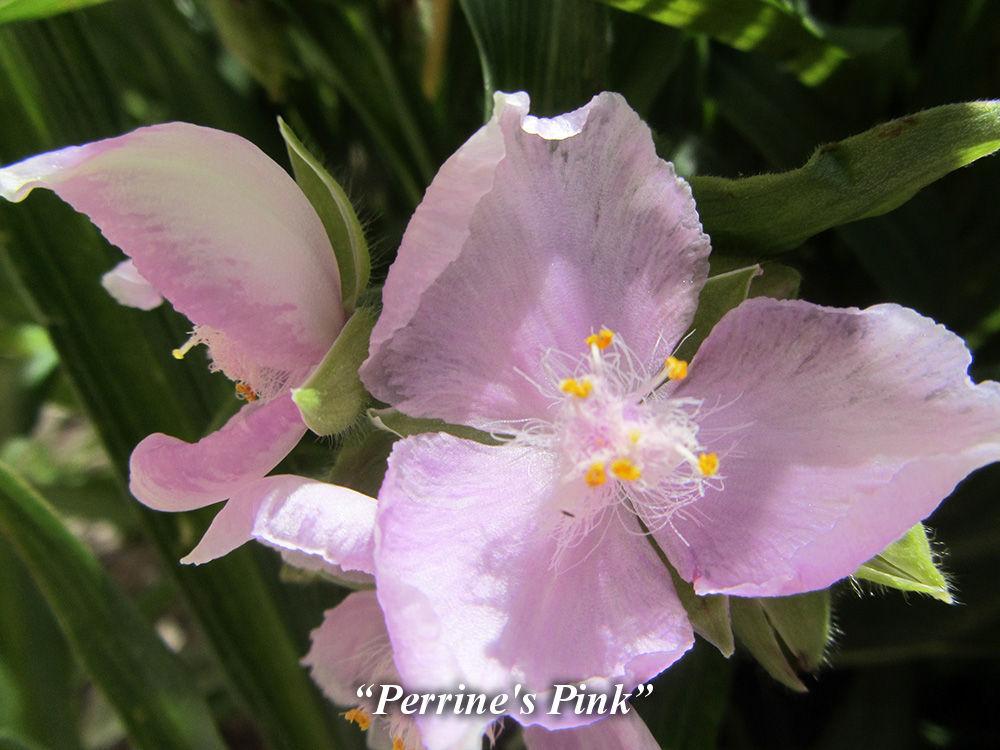 Perrine's_Pink