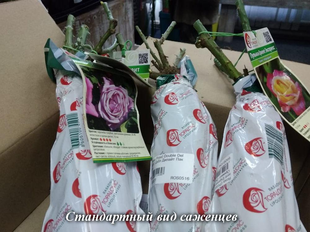 Как сохранить розу с открытой корневой системой до посадки?