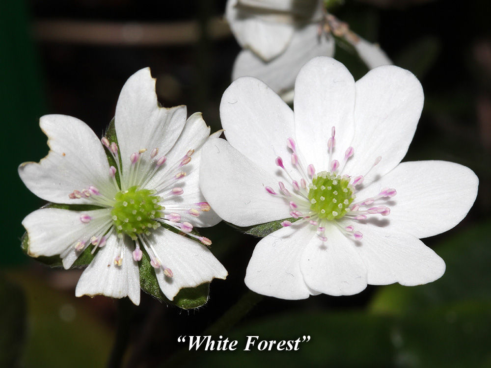 White_Forest
