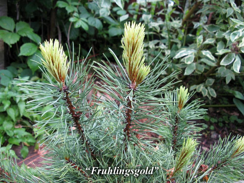 Fruhlingsgold