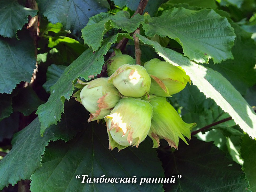 tambovskii_rannii