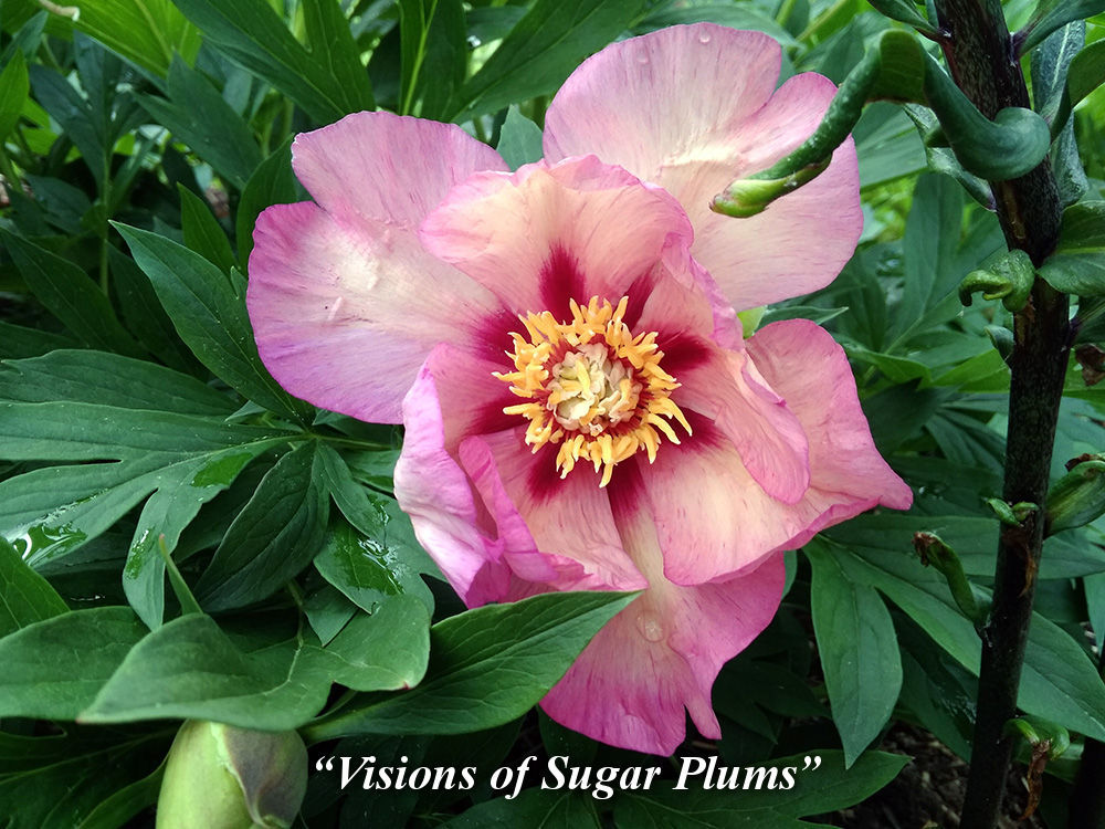 Visions_of_Sugar_Plums
