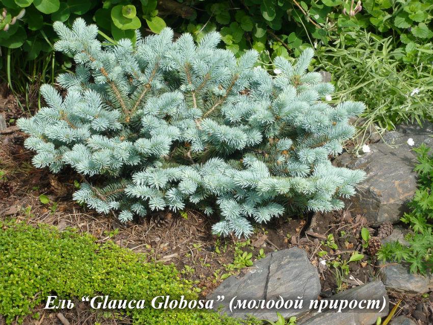 Glauca_Globosa