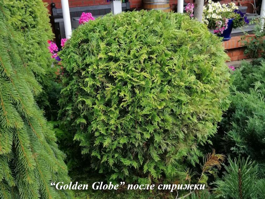 Golden_Globe_posle_strizki