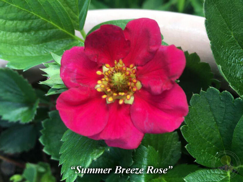 Summer_breeze_rose