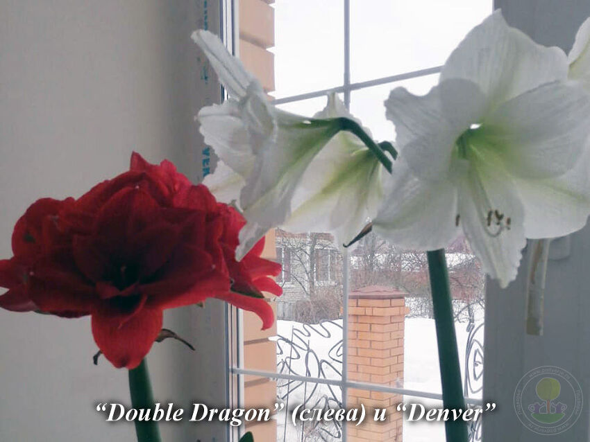Double_Dragon_and_Denver