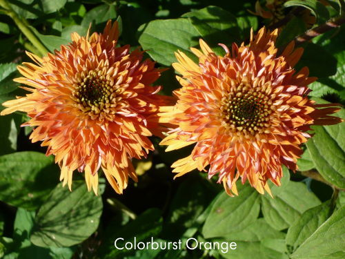 Colorburst_Orange