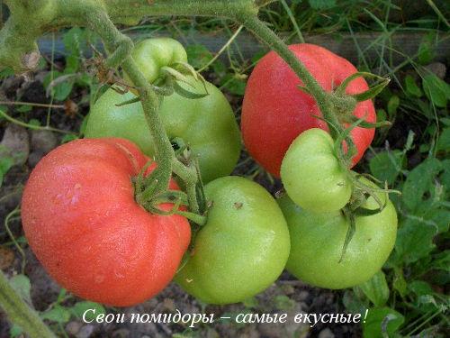 Томат Ранний флажок, 20 шт., купить в интернет магазине Seedspost.ru | 375x500