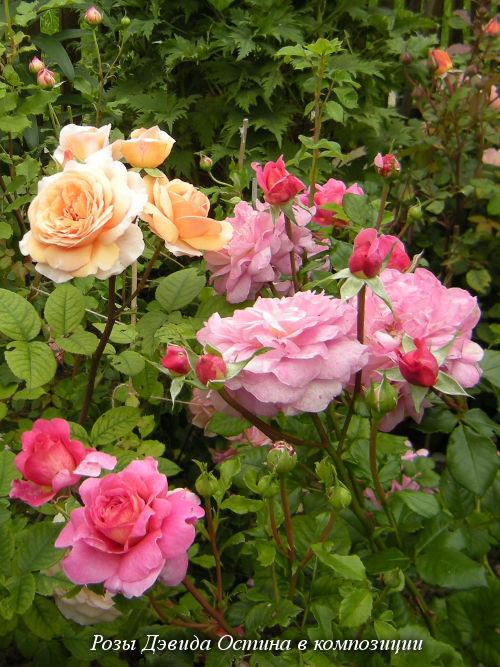 Где купить в питомниках подмосковья розы девида остина букеты на свадьбу нижний новгород автозаводский район