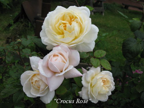 Crocus_Rose