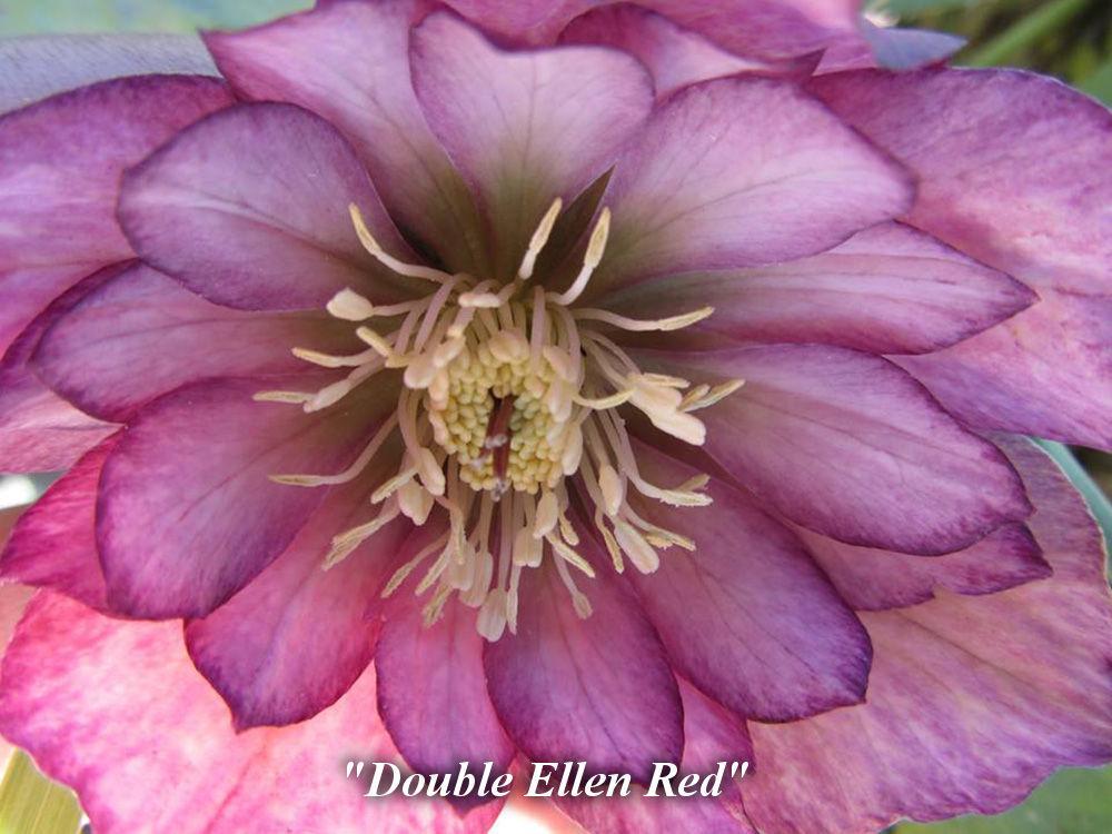 Double_Ellen_Red