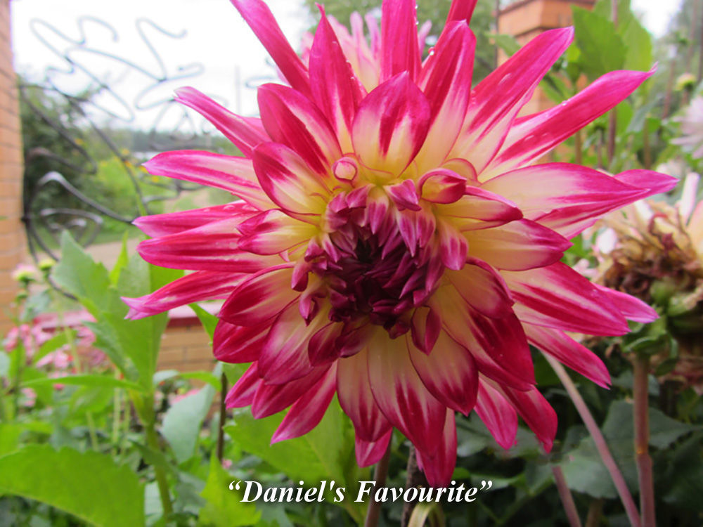Daniel's_Favorite