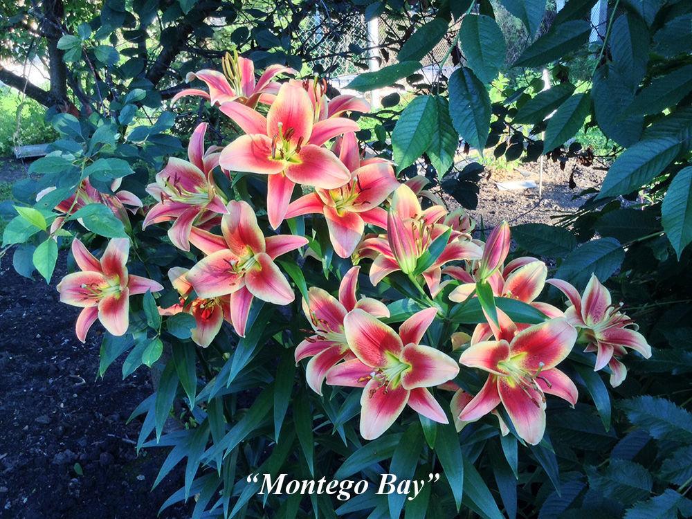 Montego_Bay