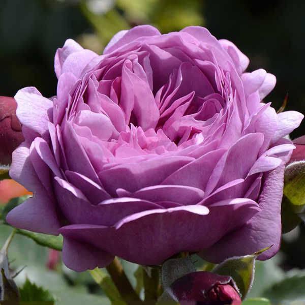 Купить розы petales de roses arya постельное бельё тюльпаны купить