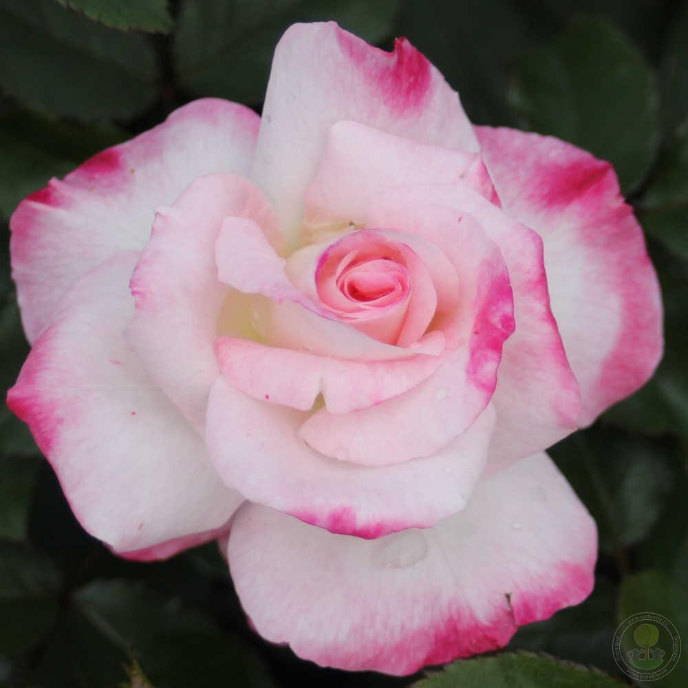 Розы для посадки купить в белгороде заказать цветы с доставкой сирень