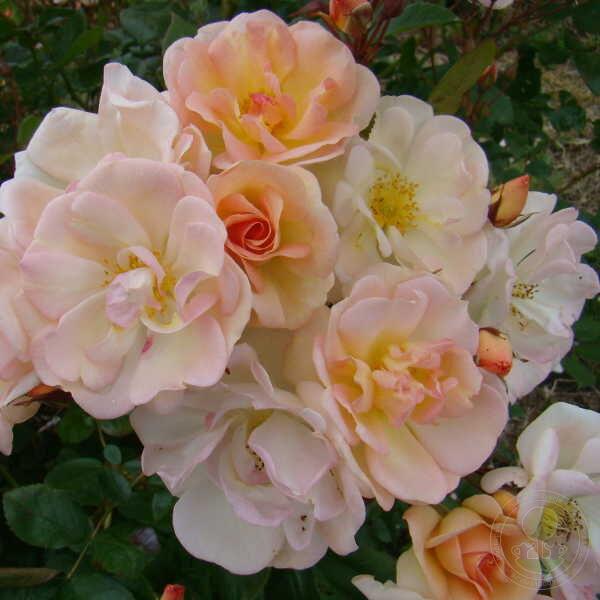 Купить розы ленса в спб на весну 2016 где можно купить искуственые цветы оптом