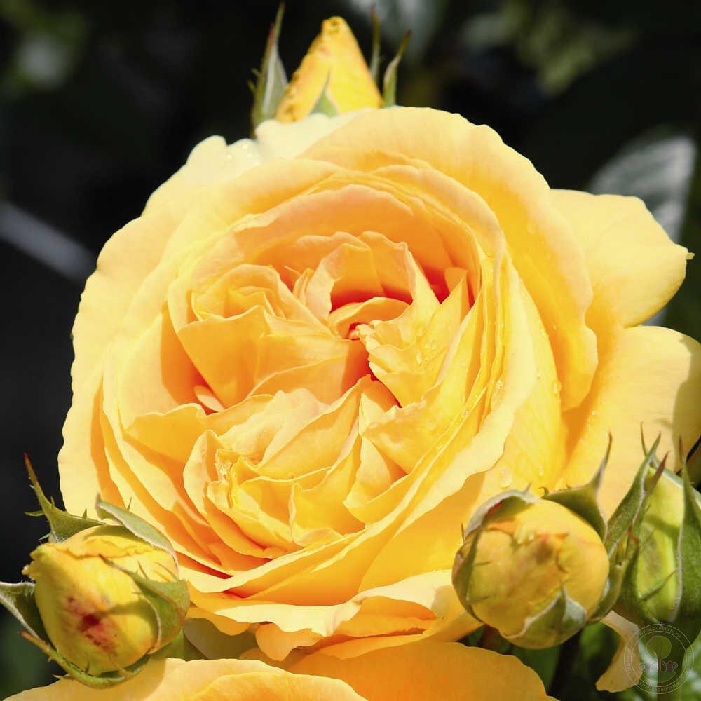Купить саженец розы рамблер