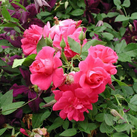 Розы канадские купить в спб