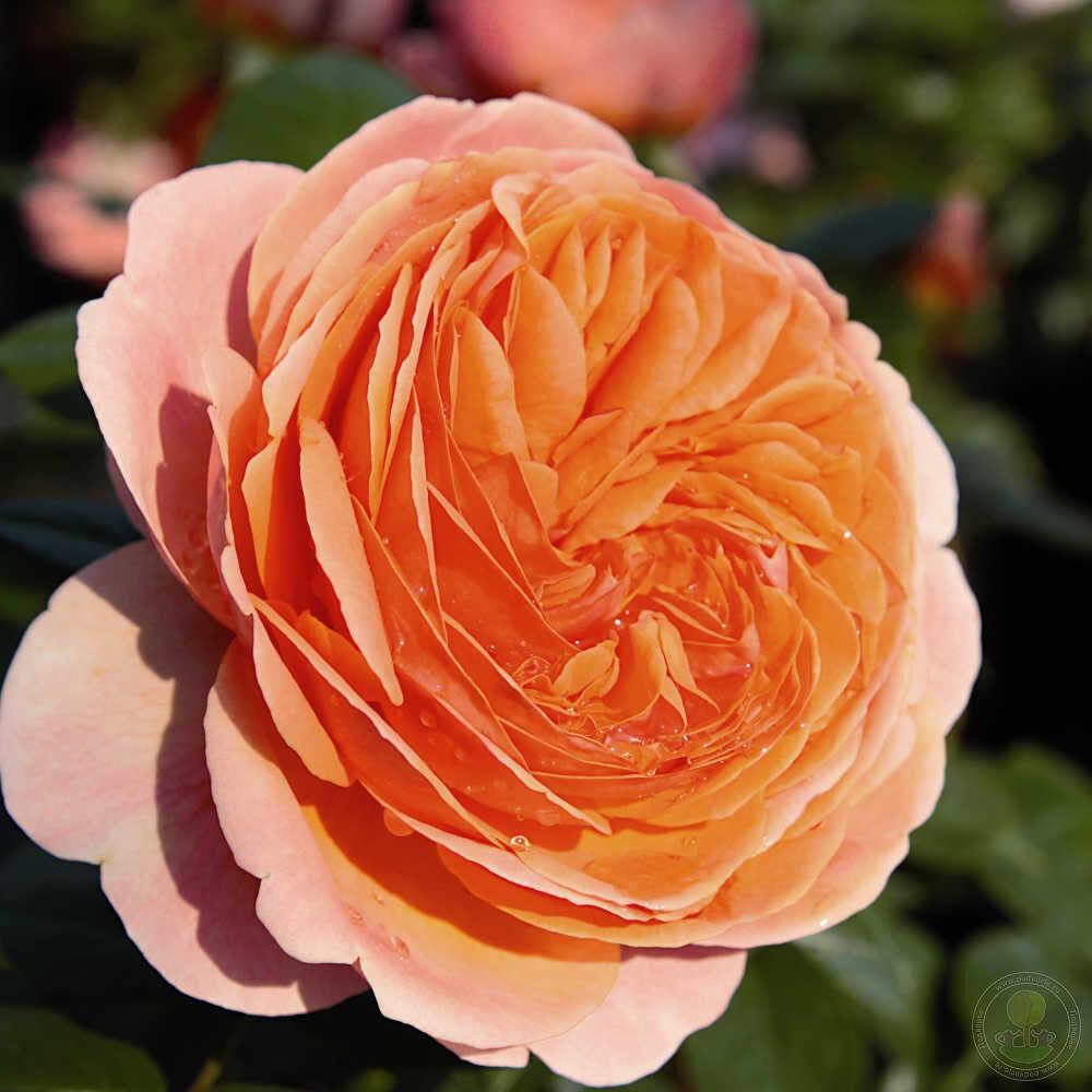 Роза эротика купить