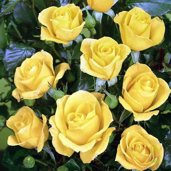 сорта желтых роз с фото и названиями нем