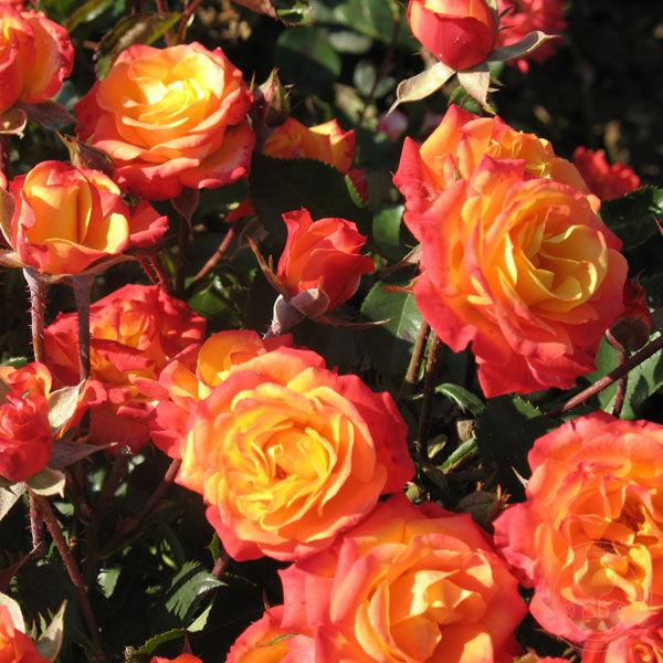 Мамба и описание фото роза