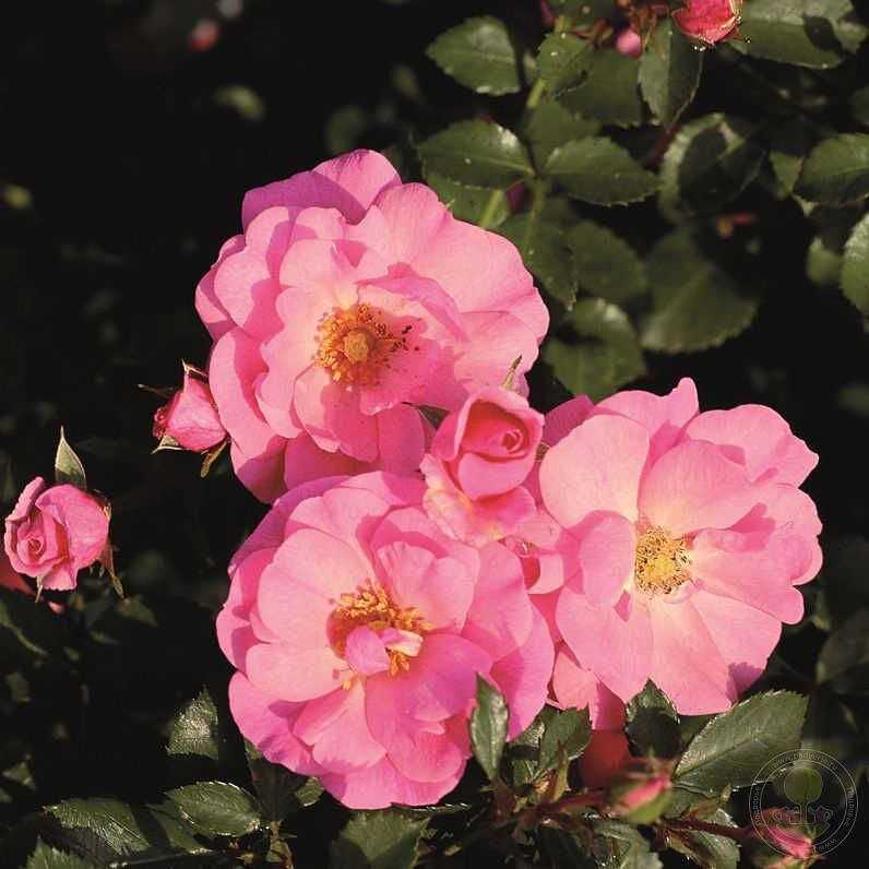 Роза почвопокровная посадка и уход фото