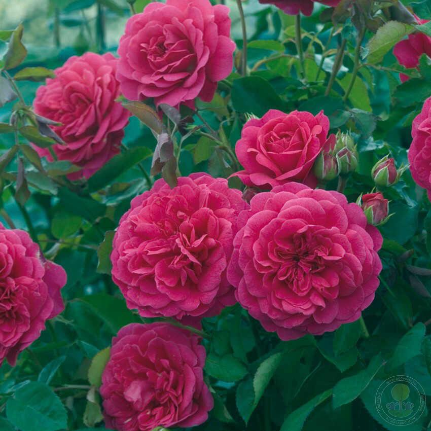 tsveti-optom-pioni-i-angliyskaya-roza-moskva-mir-ekzotiki-tsveti-otzivi