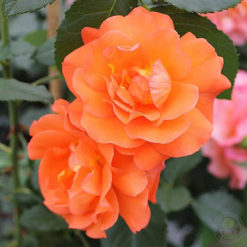 цены розы шрабы что это с фото ярким светом светятся