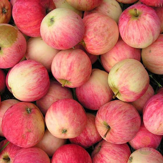 яблоня башкирский красавец фото описание складе всех важнее