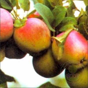 яблоня юбилей москвы описание фото отзывы