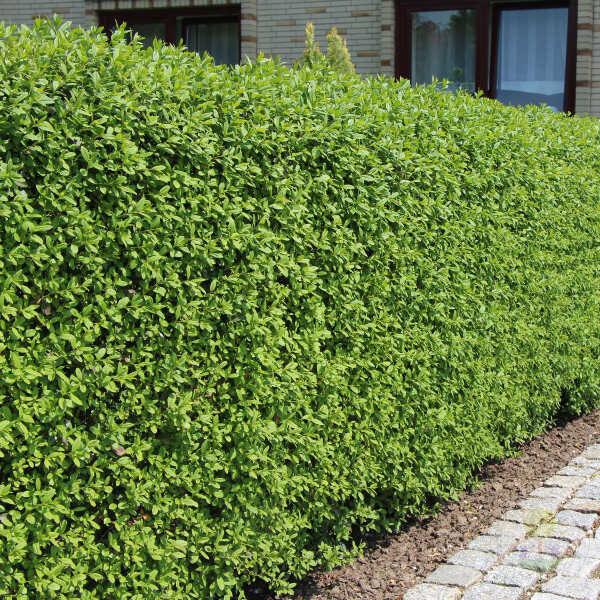 Бирючина обыкновенная Атровиренс (Ligustrum vulgare Atrovirens ...
