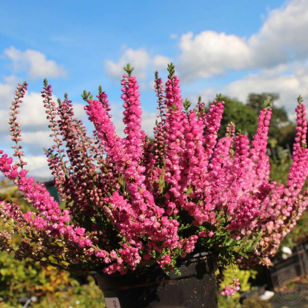 цветущие в крыму кустарники фото и названия фотографа