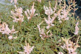 Astilbe simplicifolia Touch of Pink