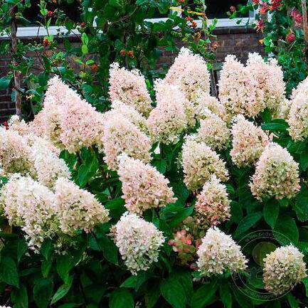 Гортензия метельчатая Мэджикал Свит Саммер (paniculata Magical Sweet Summer) - фото, описание