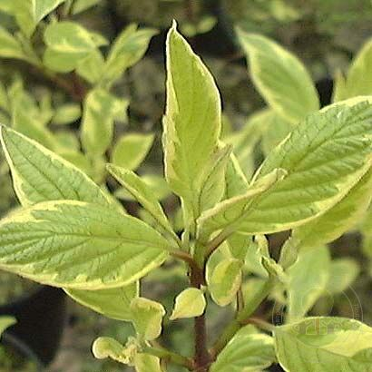 Дёрен белый Крим Крэкер (Cornus alba Cream Cracker)