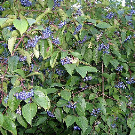 Дёрен душистый Блю Клауд (Cornus amomum Blue Cloud)