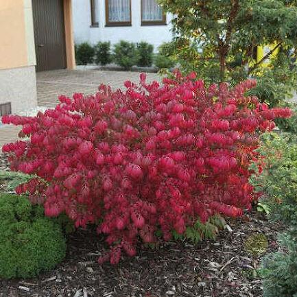 Бересклет крылатый Чикаго Фаер (Euonymus alatus Chicago Fire) - Декоративно-лиственные - купить саженцы деревьев и кустарников