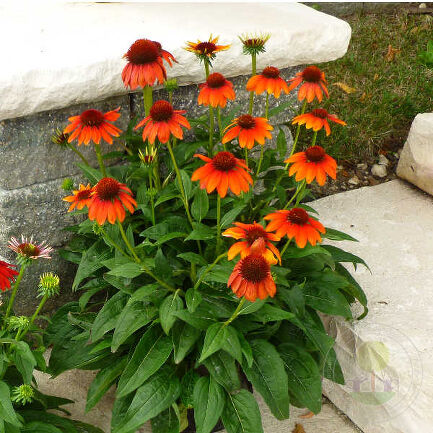 Эхинацея Фламенко Оранж (Echinacea Flamenco Orange)