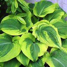 Хоста гибридная Климэкс (Hosta hybride Climax) - фото и описание