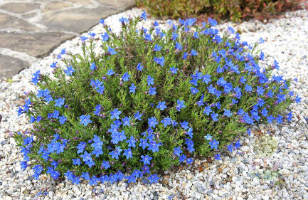Литодора рассеянная Хэвенли Блю (Lithodora diffusa Heavenly Blue)