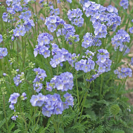 Синюха ползучая Норзерн Лайтс (Polemonium reptans Northern Lights)