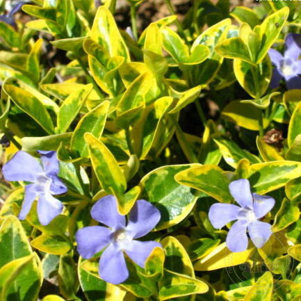 Барвинок малый Ауреовариегата (Vinca minor Aureovariegata)