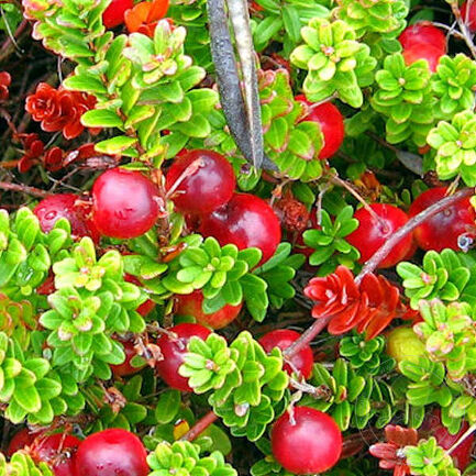 Клюква крупноплодная Мак Фарлайн (Vaccinium macrocarpon Mc. Farlin)