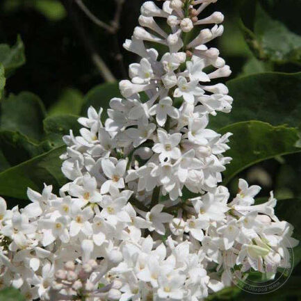 Сирень Агнес Смит (Syringa Agnes Smith)