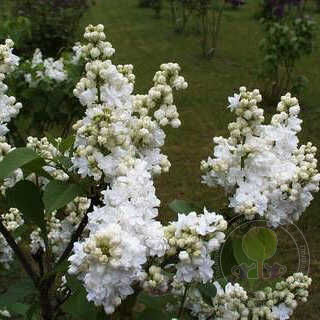 Сирень Моник Лемуан (Syringa Monique Lemoine)