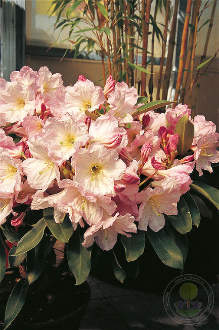 Рододендрон Форчуна Бэст Форм (Rhododendron fortunei Best Form)